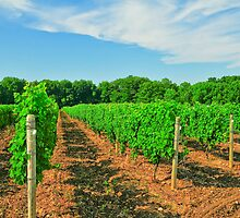 Vineyard, New York State by AskinImages