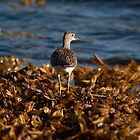 Yellowlegs by DJ LeMay