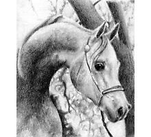 Arabian Halter Horse Portrait Photographic Print