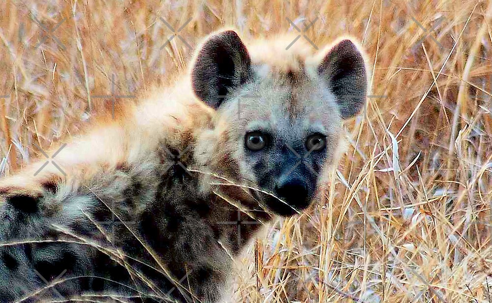 THE BABY  HAYENA AND 'EYE CONTACT'  by Magriet Meintjes