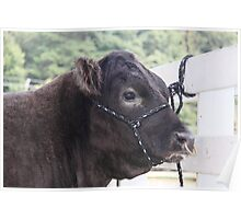 Punk Cow With Nose Piercing  Poster