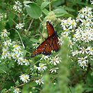 Viceroy??? 2 by Catherine  Howell