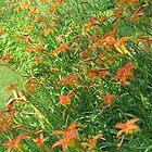 Tiger Lilies by LeeHicksPhotos