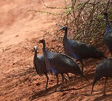 Helmeted Guineafowl nervously crossing the track by citrineblue