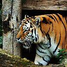the tigers hideout by Alan Mattison