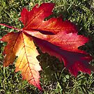 Red leaf by Steve plowman