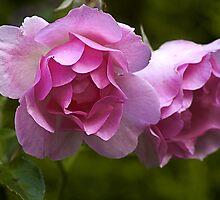 Pink by Steve plowman