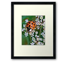 Ladybird Beetle on Queen Anne's Lace Framed Print