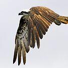 Osprey over head by bobbyverrills