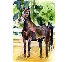 Morgan Horse Portrait Photographic Print