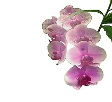 Pretty in pink orchids by elaine pearson