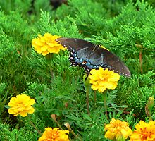 """'Blue Butterfly"""" by franticflagwave"""
