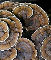 Turkey Tail by Nancy Barrett