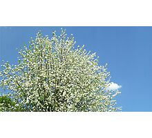 Crab Apple Tree in Spring Photographic Print