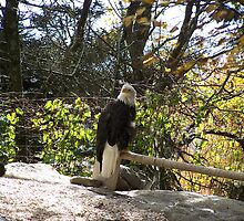 Bald Eagle by MeMeBev