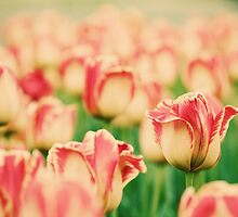 tulips 5 by sweetbliss