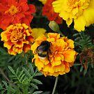 Colorful Marigolds by Elena Skvortsova