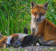 Red Fox Kits! by EdgeoftheWoods