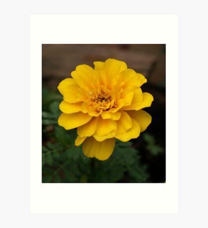 Yellow Marigold Art Print