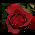 Red Rose by MarianaEwa