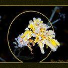 Frozen Yellow Hawkweed by MarianaEwa