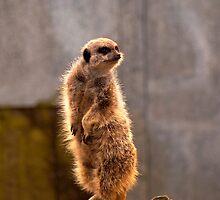 Standing meerkat by evilcat