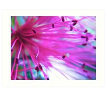 Callistemon (western glory) bottle brush Art Print