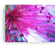 Callistemon (western glory) bottle brush Canvas Print
