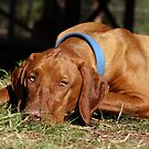 Odon my loyal Vizla by chelka09