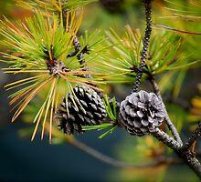 pinecones by Jennifer Muller