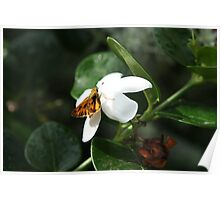 Furry Butterfly Having Lunch Poster