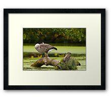 Canada Goose on log Framed Print