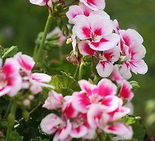 Geraniums two tone by annalisa bianchetti
