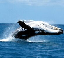 Huge breaching adult Humpback Whale by allanjonesgbr