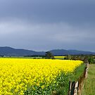 Field of Yellow by melbourne