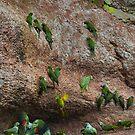 Amazon Parrot Lick by citrineblue