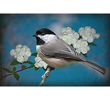 Chickadee and Bridal Wreathe Photographic Print
