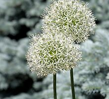 Ornamental onion by Paula Bielnicka