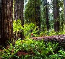 The Size of Man. Giant Redwoods national Park. California. USA. by photosecosse /barbara jones