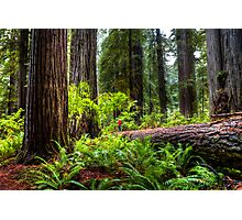 The Size of Man. Giant Redwoods national Park. California. USA. Photographic Print