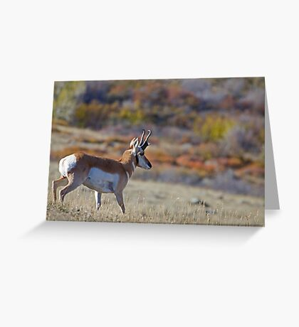 Pronghorn, Tapestry of Fall Color Greeting Card