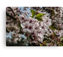 Pink Blossom Flowers Canvas Print