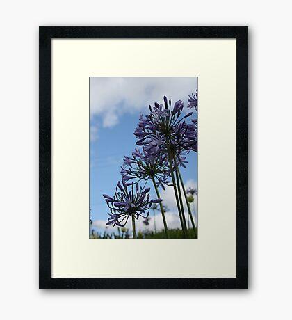 Agapanthus Framed Print