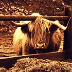 Moo!! by charlylou