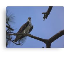 Sea hawk  Canvas Print