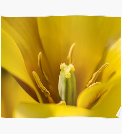 Macro Yellow Tulip Flower Poster
