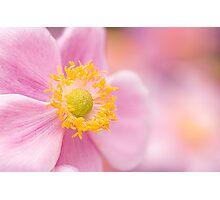 Pink Anemone Photographic Print