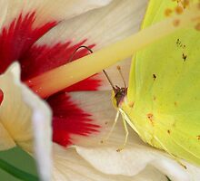 Cloudless Sulphur by Douglas J Teece