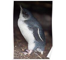 Australian Baby Penguin, Philip Island, Australia Poster