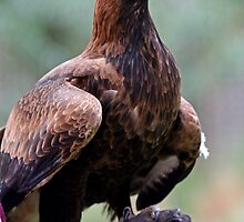 Australian Wedge Tailed Eagle by Michael Boniwell